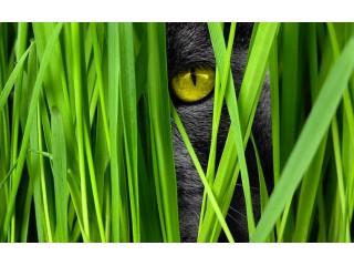 Вредна ли кошкам кошачья мята?